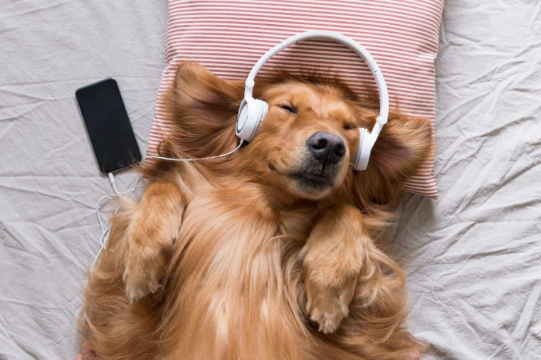 The Golden Retriever wearing headphones listening to music