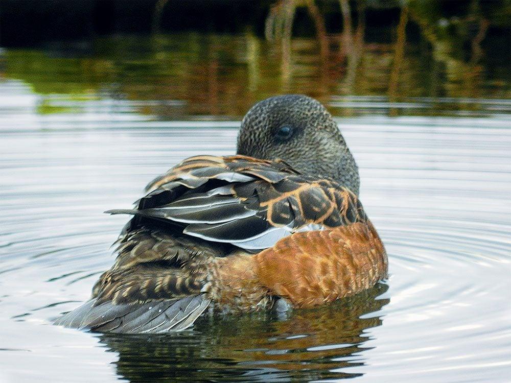 Duck at Jan Lake, Saskatchewan