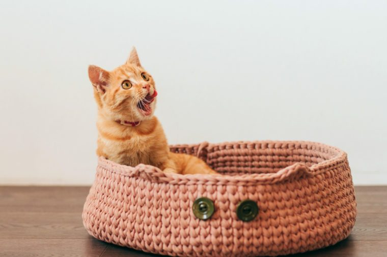 ginger tabby kitten sits in a cat bed and licks its lips.
