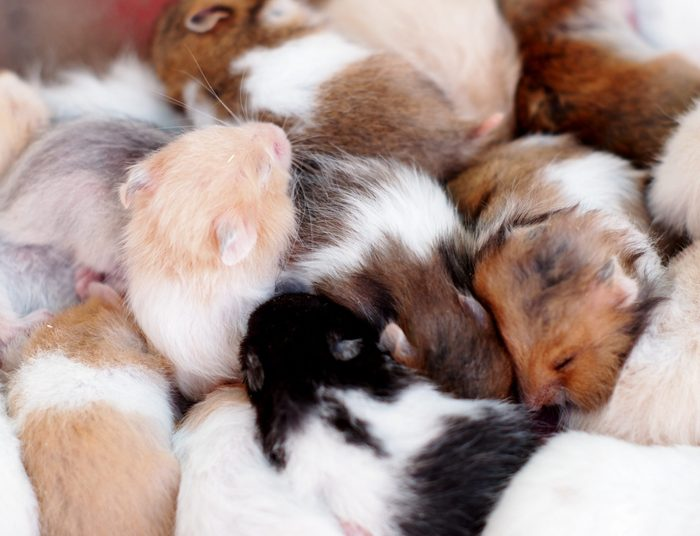 group of many young hamster mouses white brown and black color sleeping together for sale in a pet shop in THAILAND