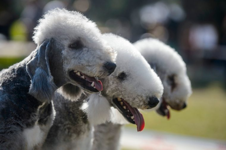 bendlington terrier dogs