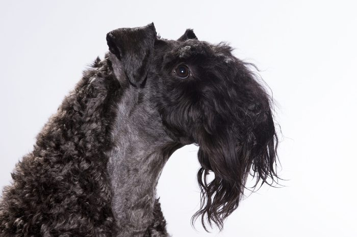 Kerry Blue Terrier portrait. The dog breed is also known as the Irish Blue Terrier. Image taken in a studio.