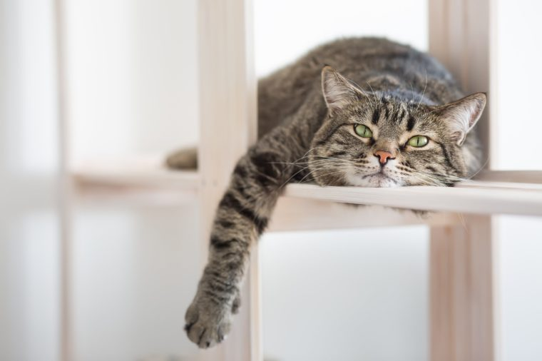 The lazy striped cat lies on the shelf