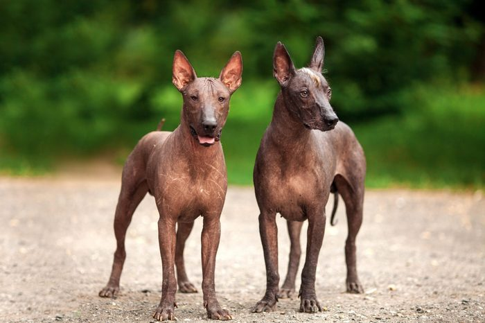 Horizontal portrait of two dogs of Xoloitzcuintli breed, mexican hairless dogs of black color of standart size, standing outdoors on ground with green grass and trees on background on summer day