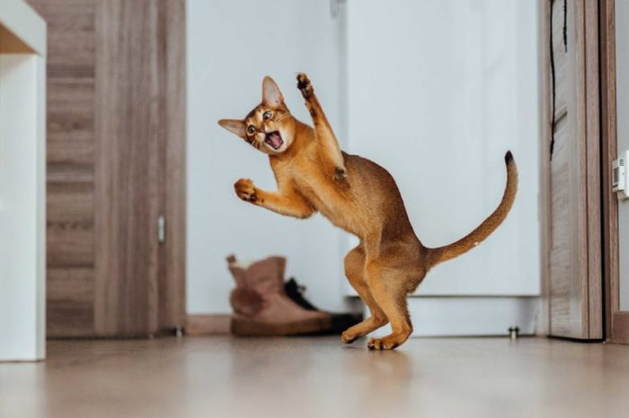 Young Abyssinian cat cought in the jump