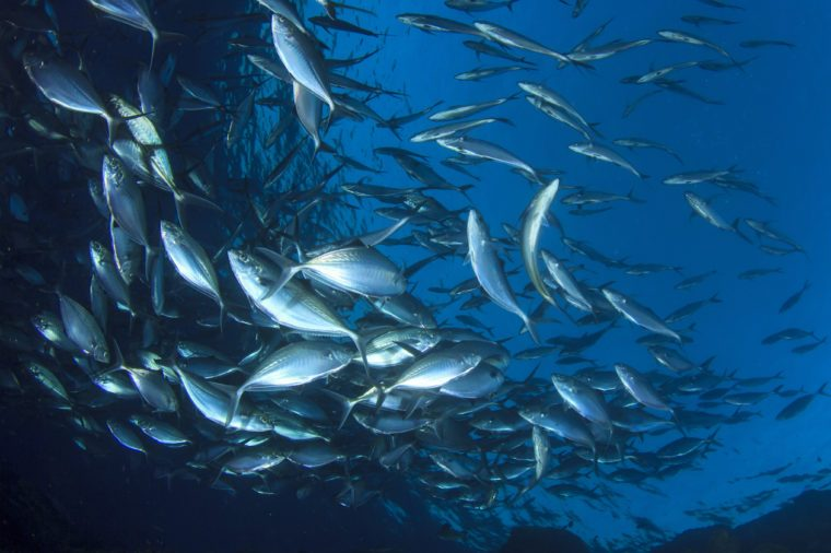 Live wild Tuna fish underwater in ocean