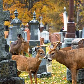 White tailed deer in a cemetery - wildlife of Southwestern Ontario