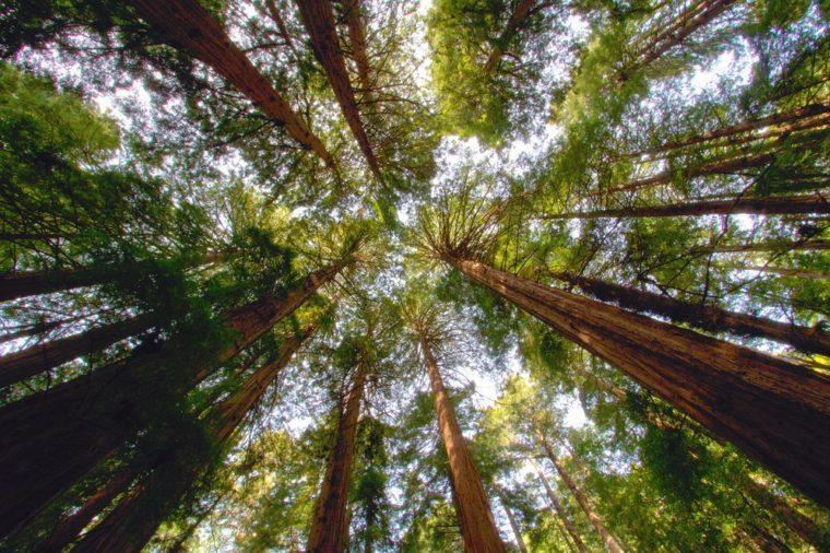 Redwood trees in Muir Woods, CA.