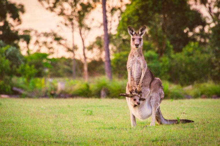 Mother kangaroo with child in her pouch