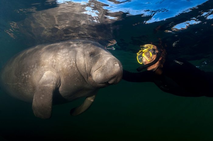 Manatee and female snorkeler have a touching moment. Photographed at Homosassa Springs, Florida