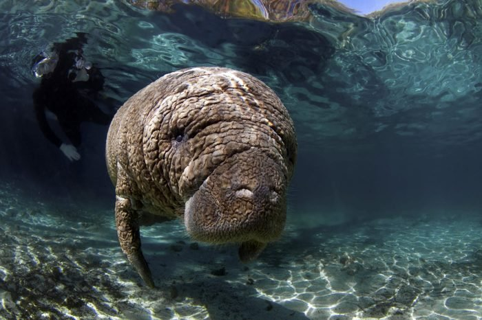 West India Manatees of the Crystal River