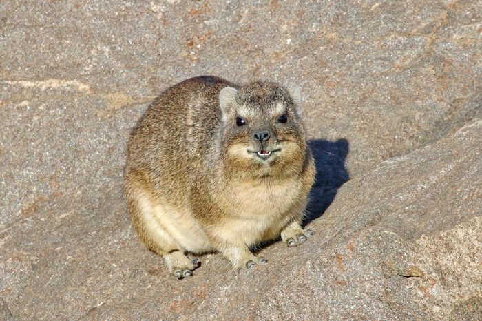 Table Mountain Rock Hyrax / Dassie