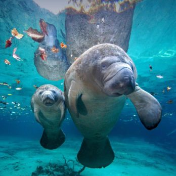 13 Things You Never Knew About Manatees