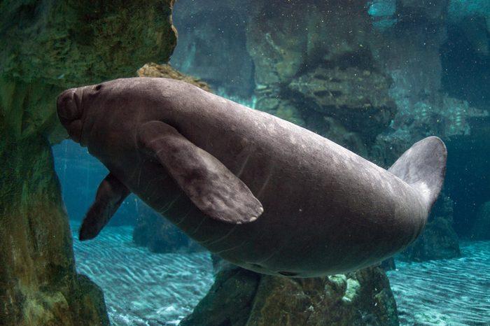 baby newborn manatee close up portrait underwater
