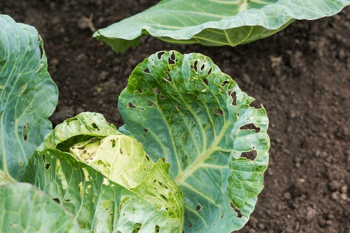 Cabbage damaged by insects is close
