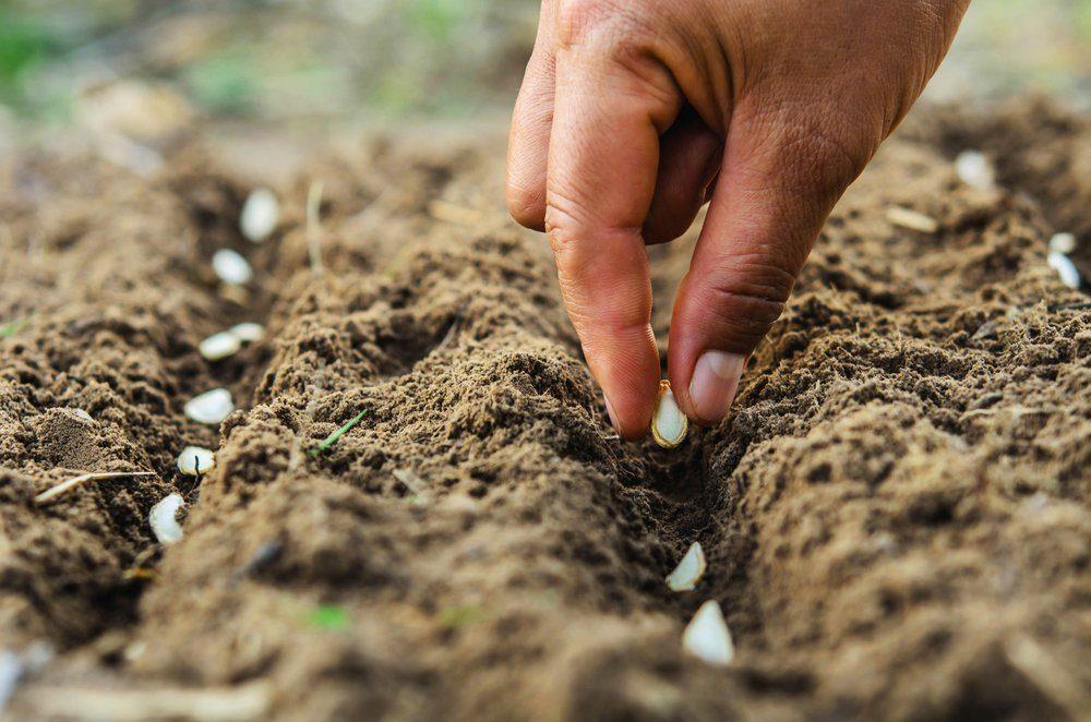 hand planting pumpkin seed of marrow in the vegetable garden