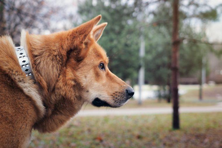 Redhead big dog, portrait. Mixed with Akita inu