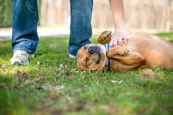 A red and white mixed breed dog lying in the grass and receiving a belly rub