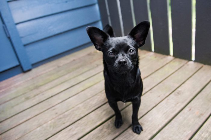 Tiny black mutt hangs out on the patio