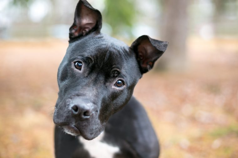 A black Pit Bull Terrier mixed breed dog listening with a head tilt