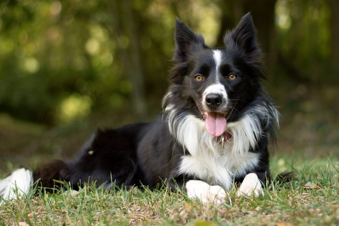 A loving and peaceful border collie puppy relaxes in the grass