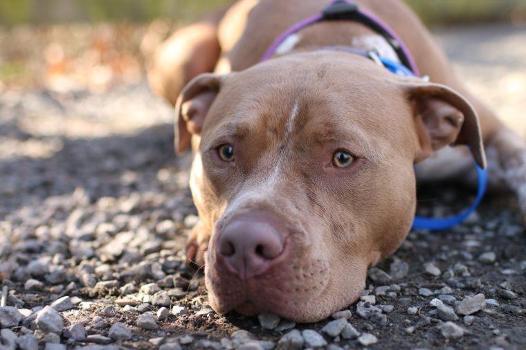 Pitbull dog at dog park.