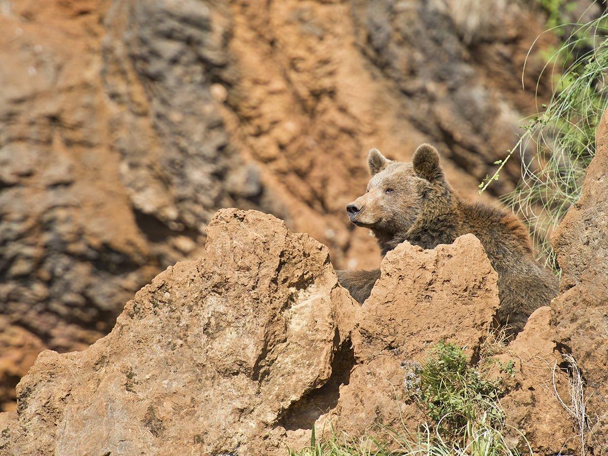 Good news - Cantabrian brown bear in Spain