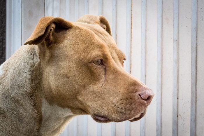 a female Pit Bull terrier