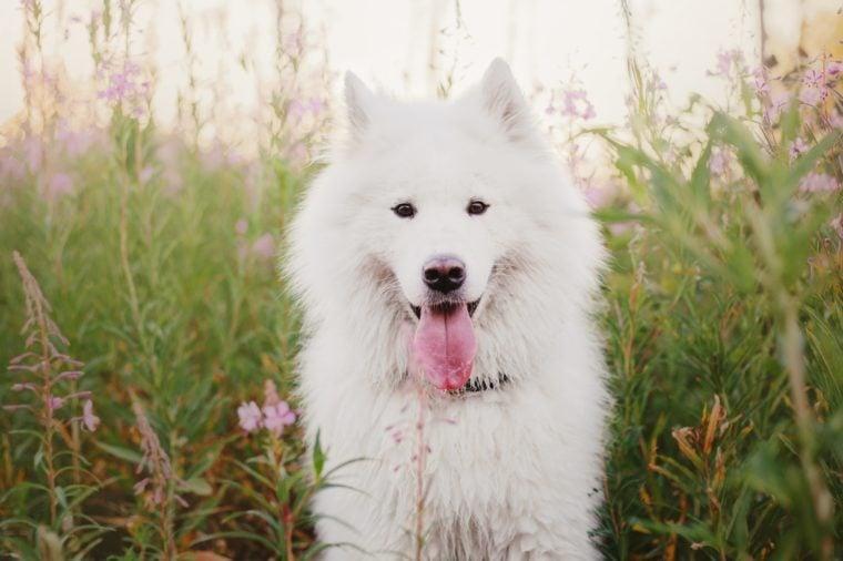 Dog in spring. Samoyed dog on a walk