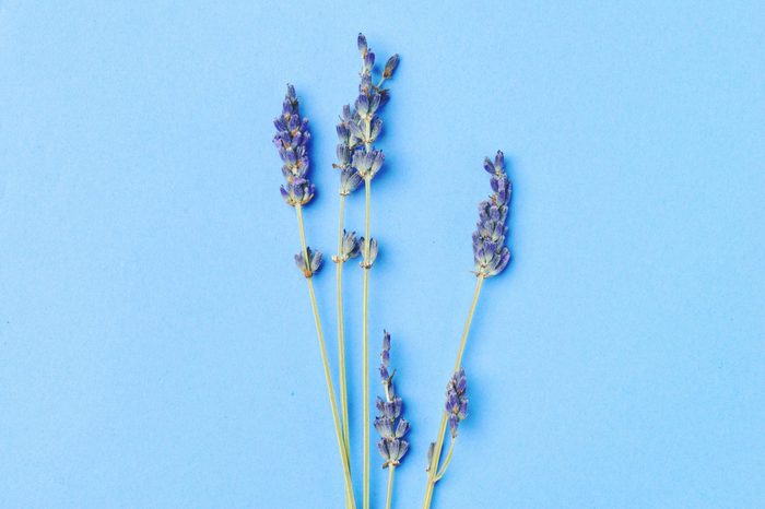 violet lavender flowers arranged on bright blue background. Top view, flat lay. Minimal concept. Dry flower floral composition. Pastel colors.