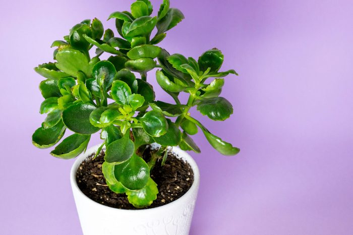 houseplant Kalanchoe in a decorative pot on a lilac background.