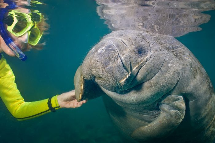 Selective focus of a female snorkeler greeting a manatee. Focus is on the manatee. Some back-scatter in the turbid water.