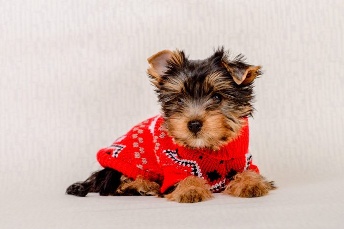 Cute sitting Yorkshire Terrier puppy dog in a Christmas - Isolated on a white background. A small dog in a sweater.