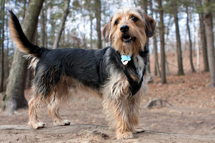 Portrait of a young yorkshire terrier beagle mix dog in the woods / dog park. Shallow depth of field.