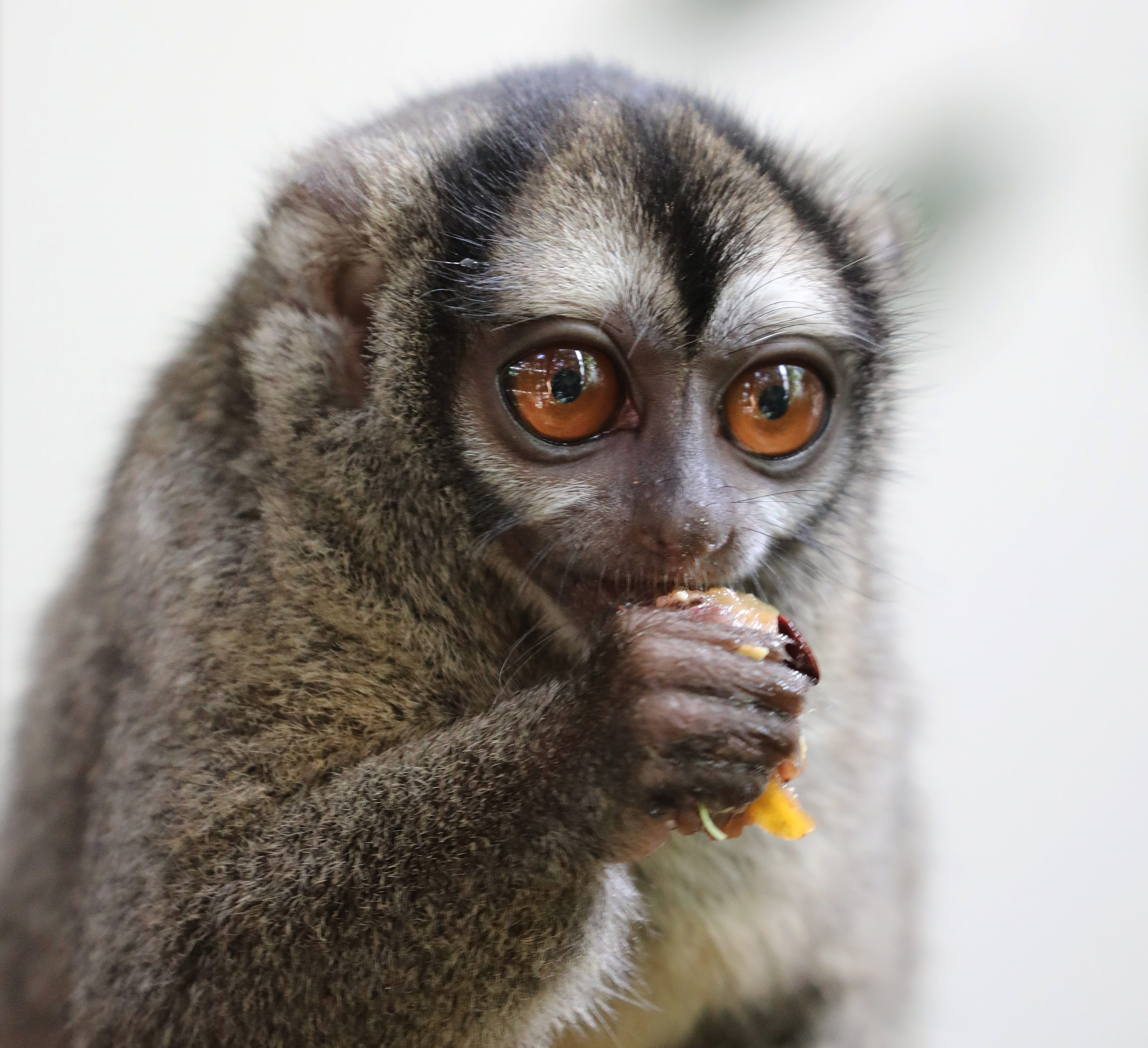 Close-up of a Gray-bellied night monkey