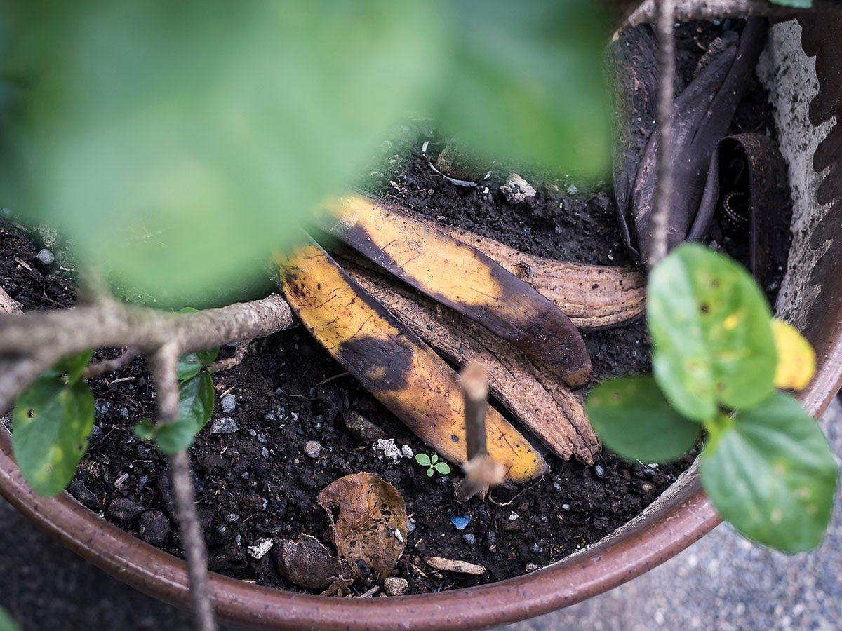 Using banana as fertilizer.
