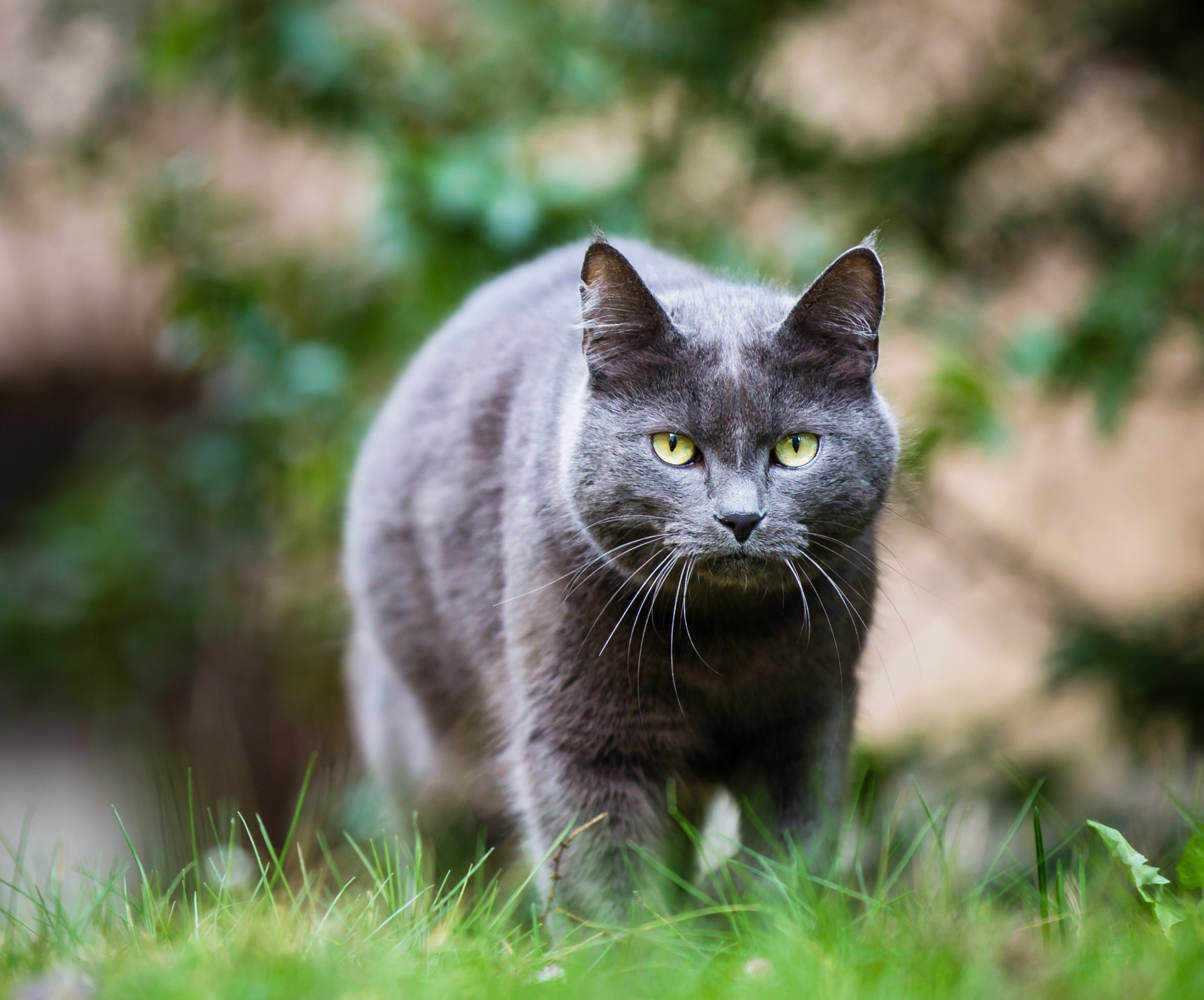 Cat outdoors on a green lawn, walking towards you