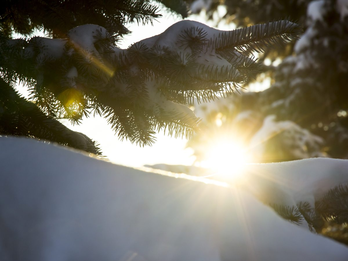 First Toronto winter - Winter sun breaks through the snow-covered fir branches