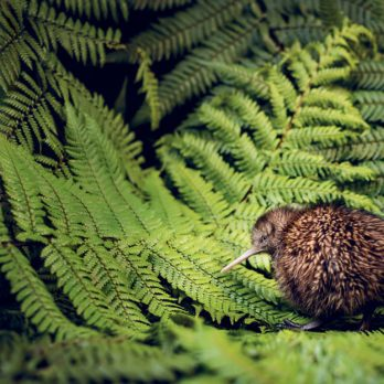 New Zealand's Kiwi Bird Is in Danger of Disappearing—Meet the People Trying to Save It