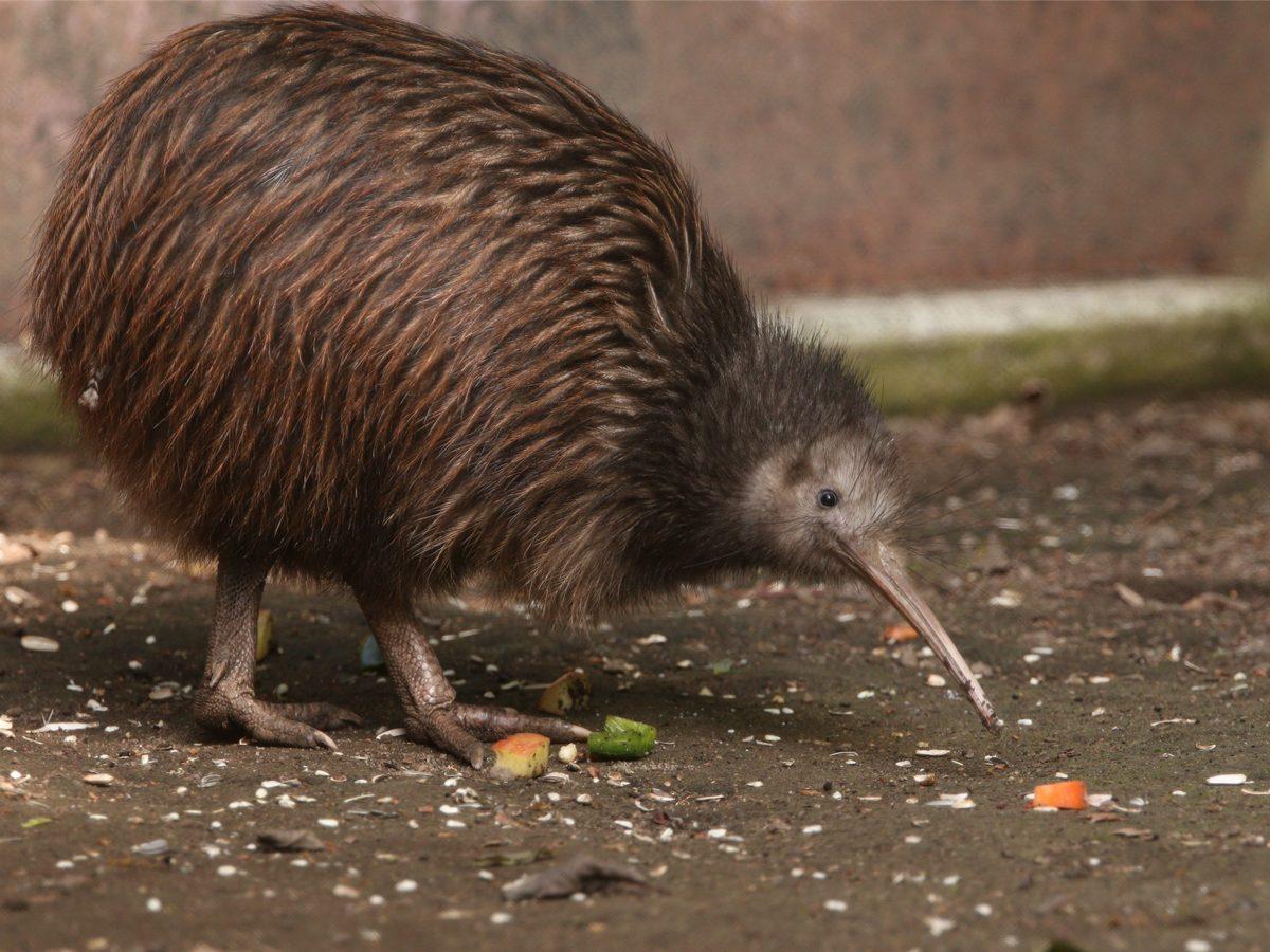 Kiwi bird on ground