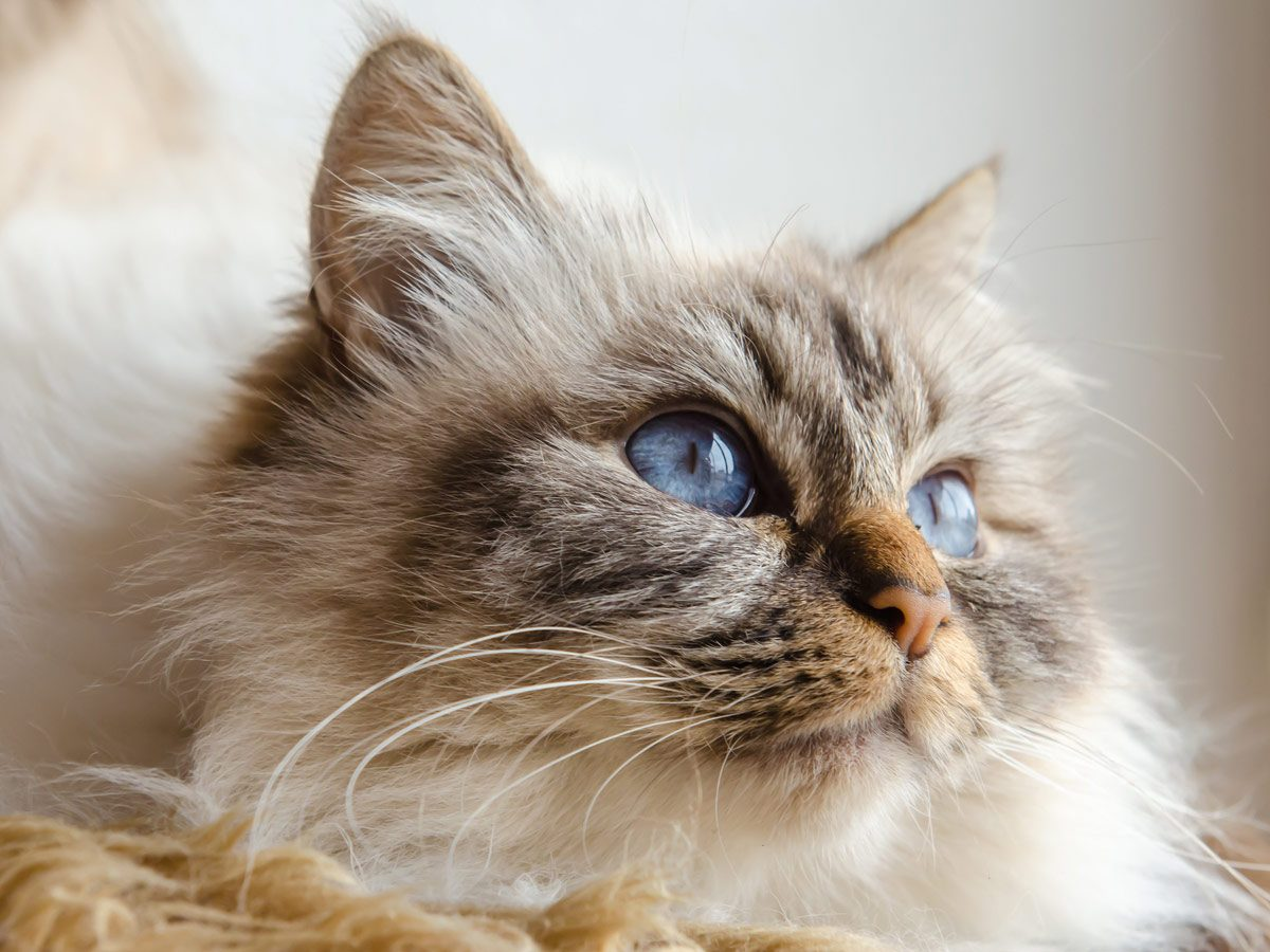 Affectionate cat breeds - Birman