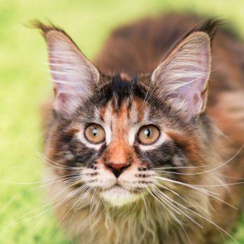 12 Most Affectionate Cat Breeds