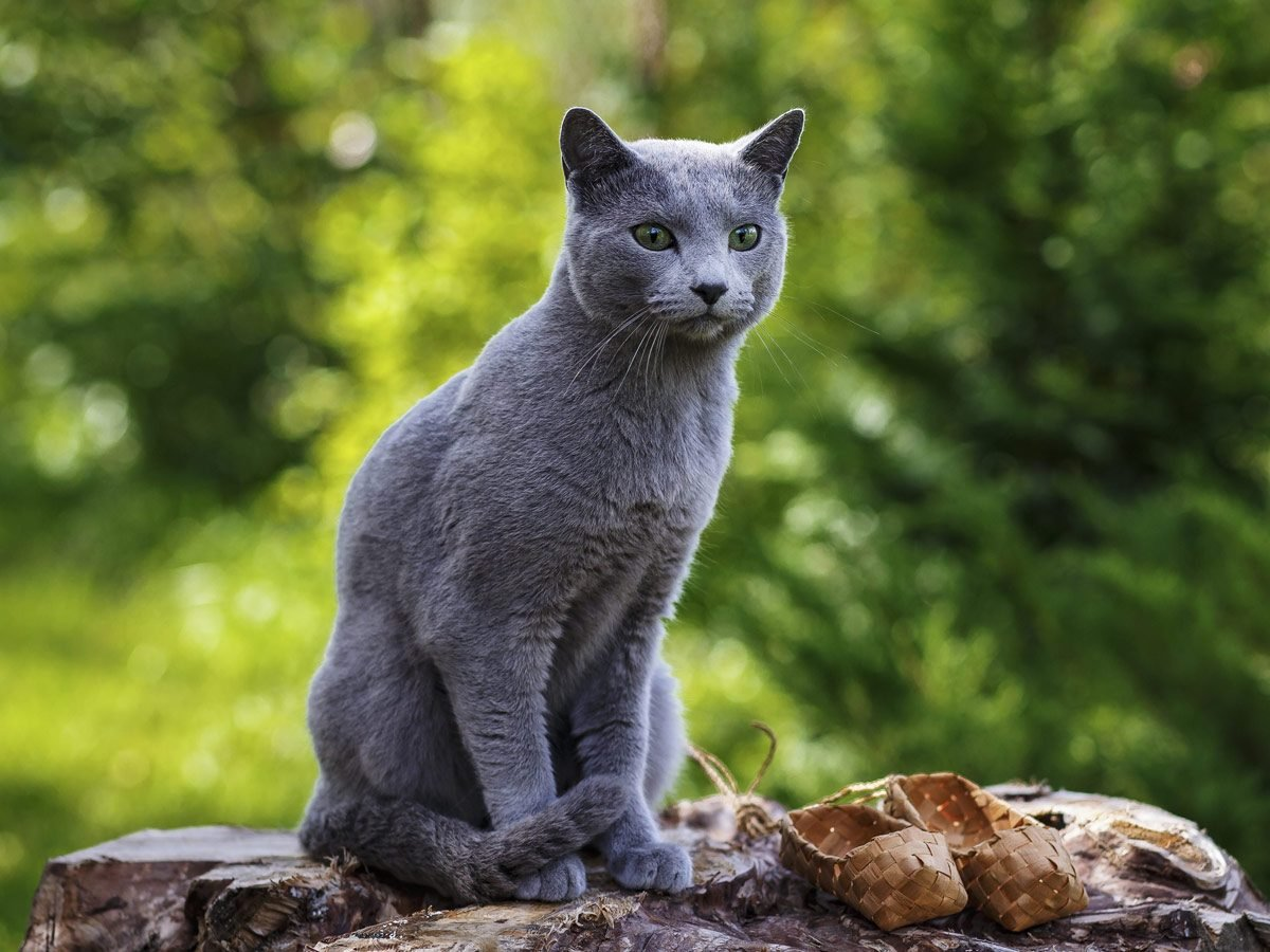 Affectionate cats - Russian blue cat