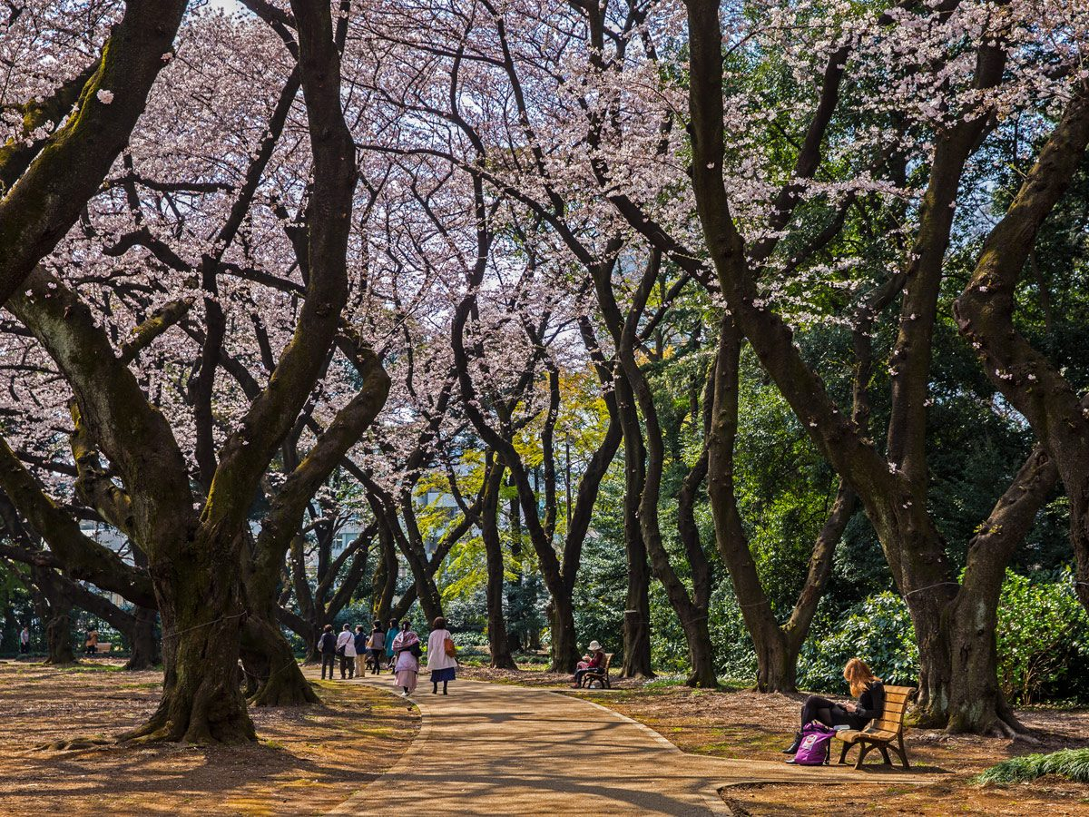 Cherry blossom trees in park in Japan