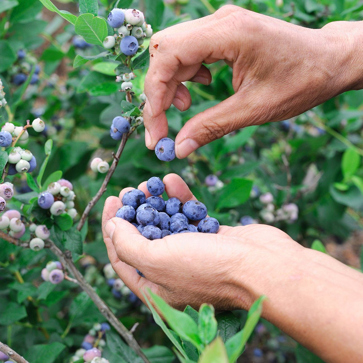 close up on blueberry picking by hand; Shutterstock ID 452575339; Job (TFH, TOH, RD, BNB, CWM, CM): TOH