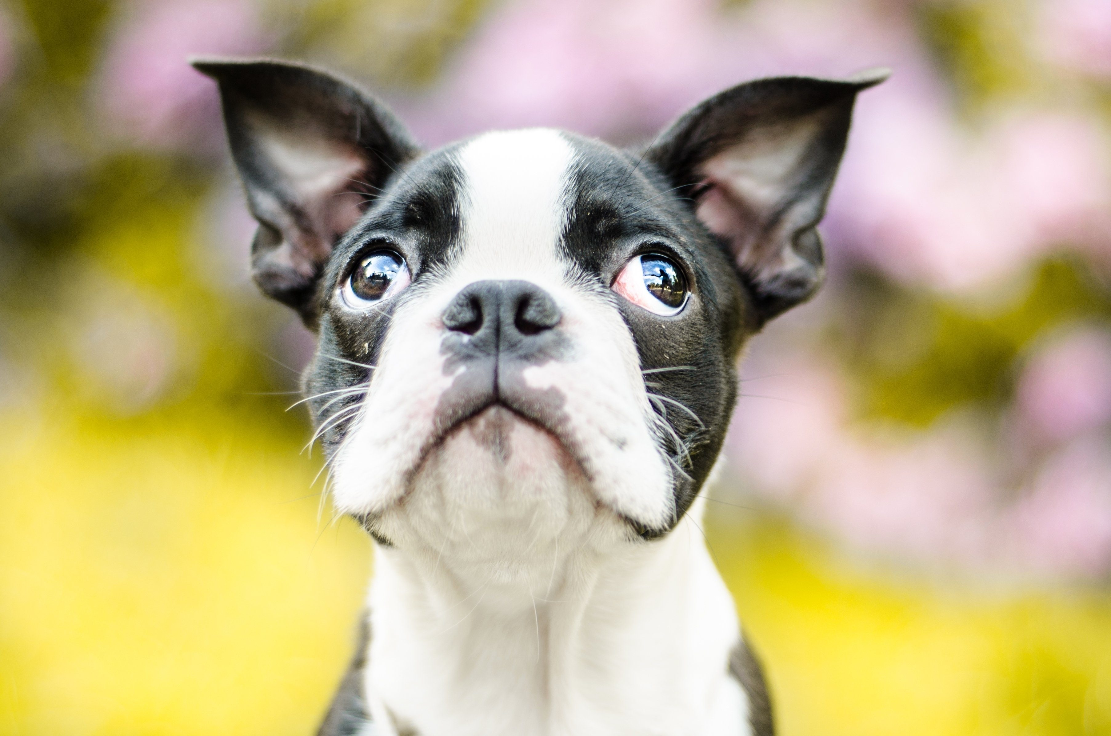 sweet doggy look of squinting focused black and light brown puppy male boston terrier dog looking up summer in park sunny day