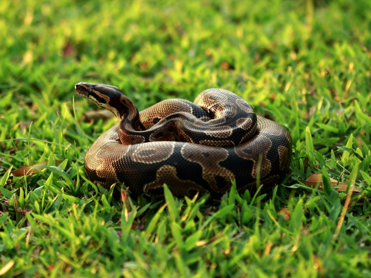 Ball python, originated from Africa