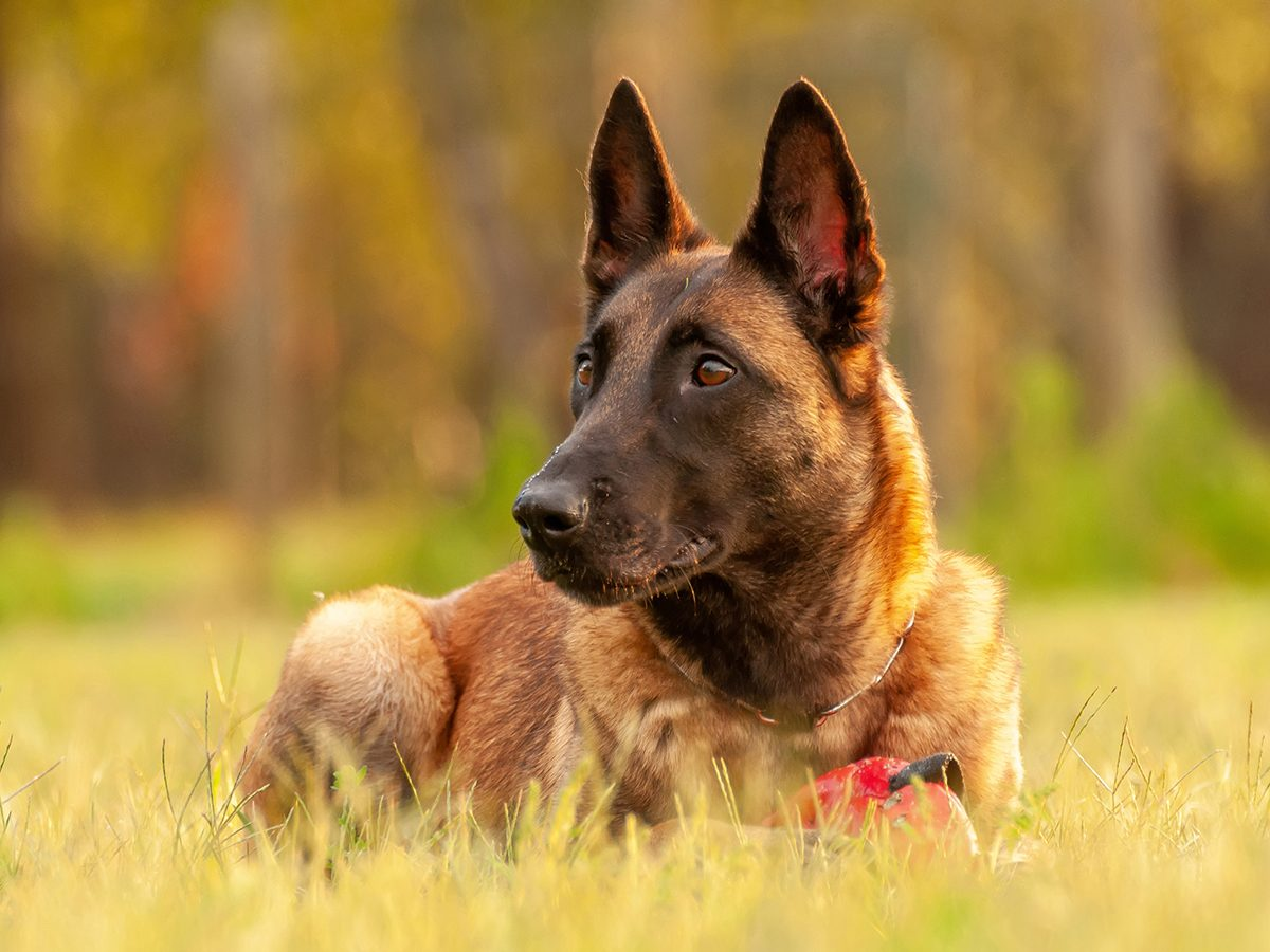 Good news - Belgian malinois shepherd dog