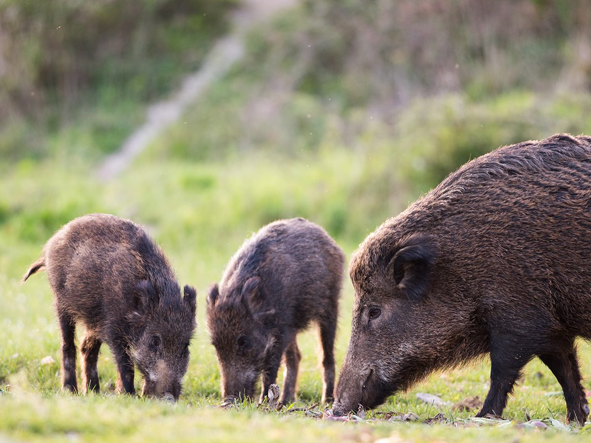 Good news - wild boars of Italy