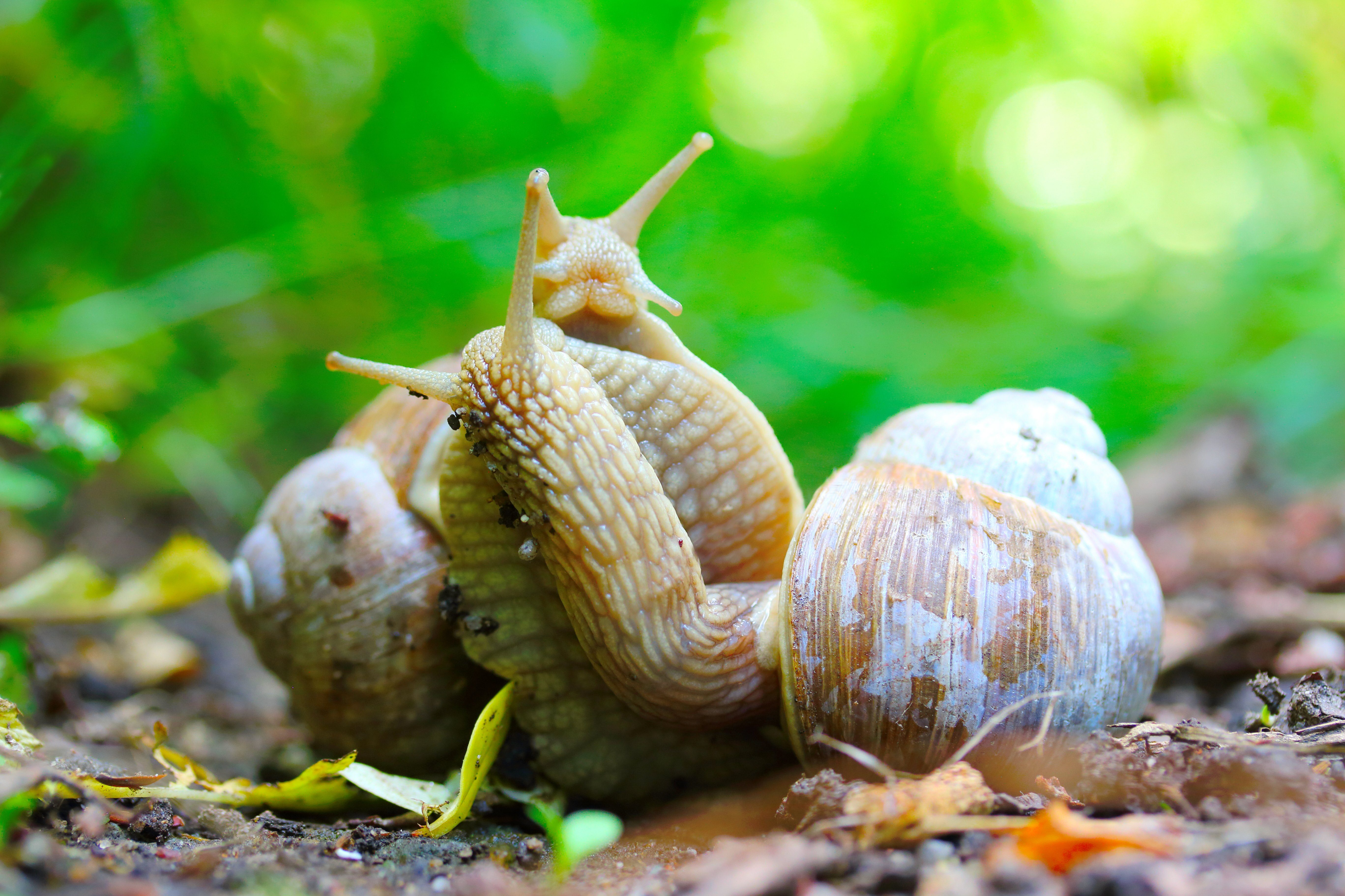 Love making snails couple on garden. Closeup of mating animals. Humorous situation in nature. The Helix Pomatia or Burgundy Snail is popular French food.